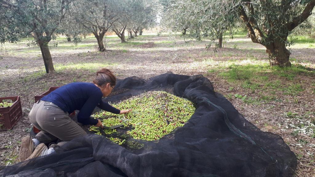 Le Tineiral à Néffies Récolte des olives